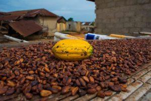 PRODUCTION DU CACAO: Les prix rebaissent, les planteurs ouest-africains trinquent